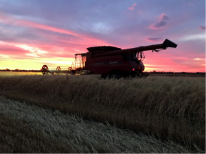 Seed oats being harvested November 2020